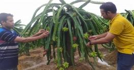 নতুন উদ্যোক্তার হাতছানিতে সৃজিত ড্রাগন ফুলে-ফলে সুশোভিত বাগান