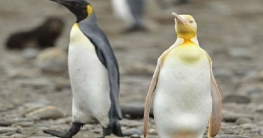 দক্ষিণ জর্জিয়ায় দেখা মিলল হলুদ রঙের বিরলতম পেঙ্গুইনের